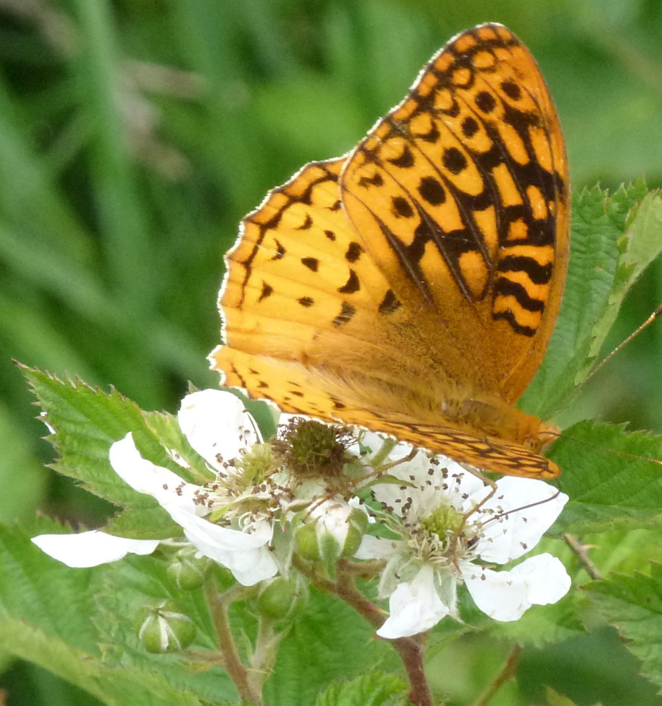 Great Spangled Fritillary - I bet we saw 100 of these!