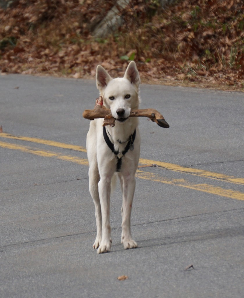 "This dog came prancing towards us as we were packing up at The Dump.  ""Look he's bringing us a stick,"" I say to Steve...YUCK!!!"